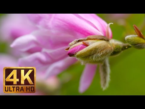 Wonderful Magnolia Pink Flowers (2 Hours) 4K Relaxation Video Meditate, Relax, wash your Stress away