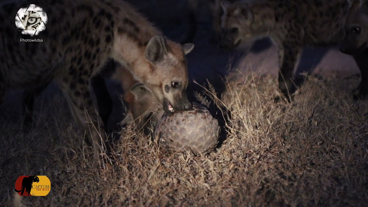 EXTREMELY RARE!!! Hyena Clan Take on one PANGOLIN!!!