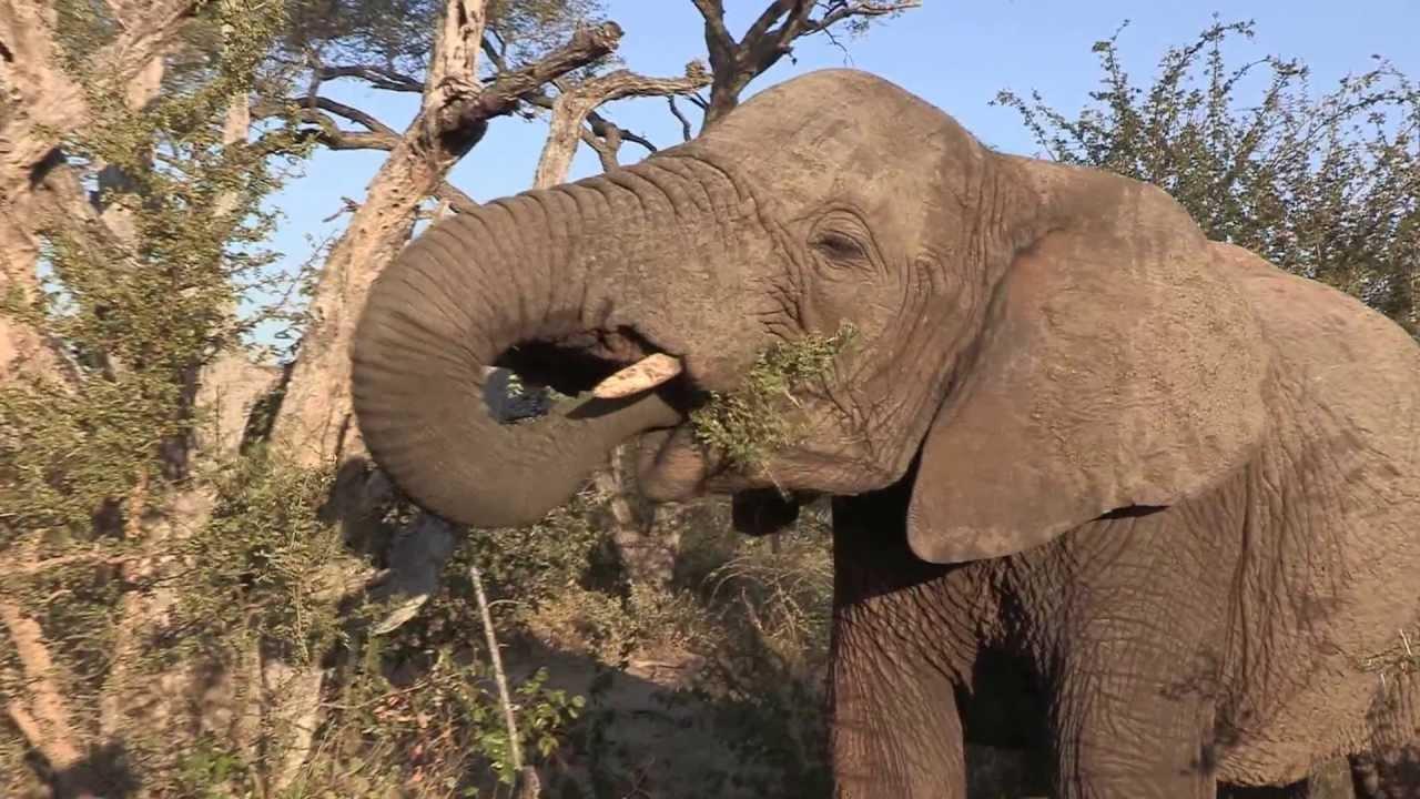 Sound of the African Bushveld, Elephants - AFRICAN WILDLIFE