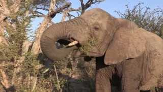 Sound of the African Bushveld, Elephants  AFRICAN WILDLIFE