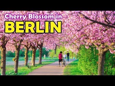 Cherry Blossom in Berlin (Sakura) | GoOn Berlin