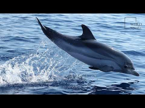 Interesting facts about striped dolphin by weird square