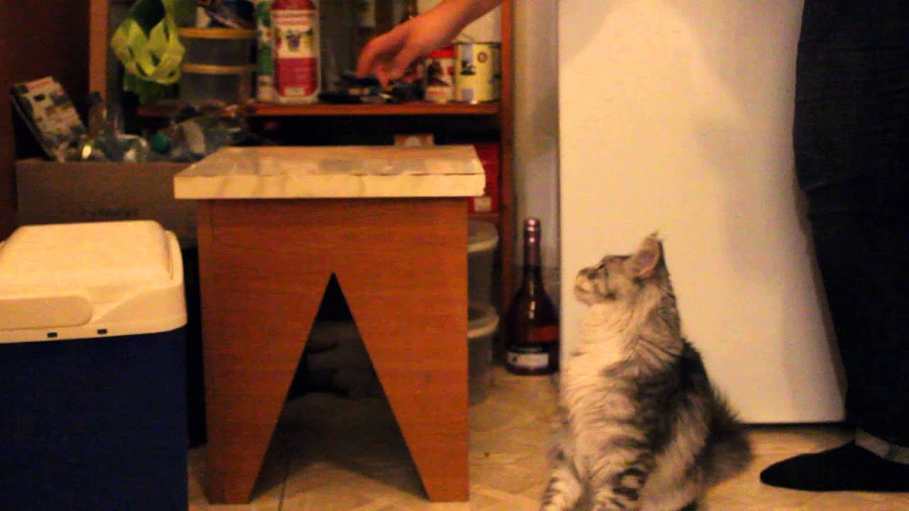 Maine coon clicker training