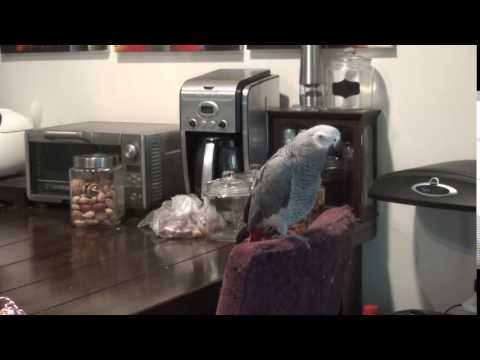 African grey parrot – Basil, come one