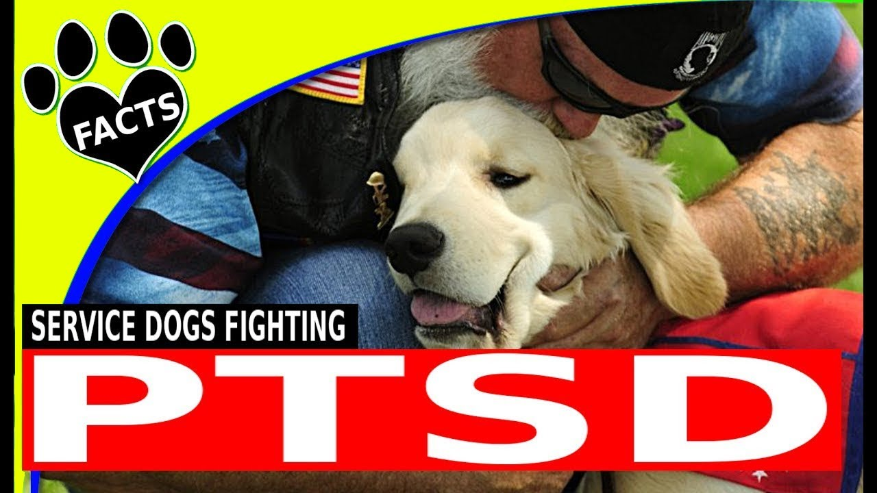 Service Dogs: PTSD Service Dogs Top Service Dog Breeds for People with PTSD - Animal Facts