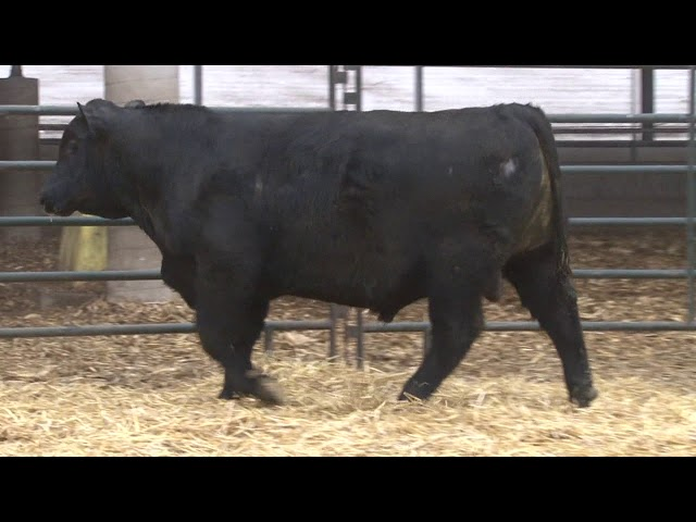 Schiefelbein Angus Farms Lot 175