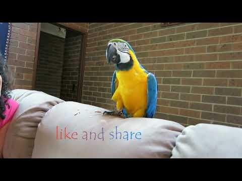Talking maccaw parrot