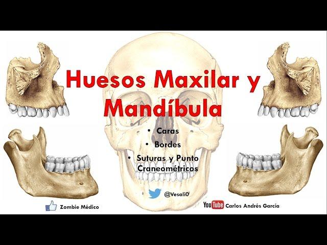 Anatomía - Huesos Maxilar y Mandibula (Caras, Bordes, Inserciones ...