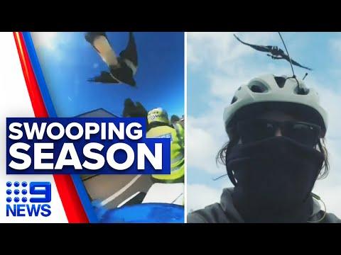 Suburban Streets Turn Into Battlefields Amid Magpie Swooping Season | 9News Australia