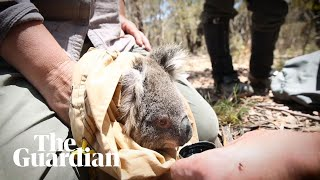 Koalas living in the path of a massive bushfires are taken to safety
