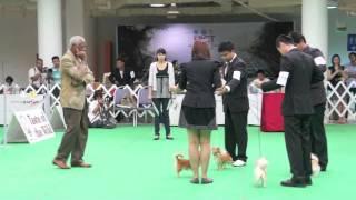 รูบี้ ชิวาวาขนยาว ลงประกวดสุนัข