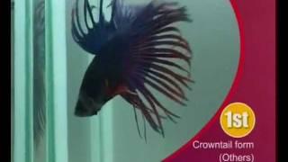 Рыба петушок(Бойцо́вая ры́бка (лат. Betta splendens Regan.) или сиамский петушок. Аквариумисты также используют названия рыбка-пет..., 2012-02-19T17:54:11.000Z)