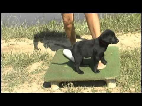 My New Puppy - Training Retriever Puppies