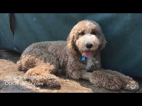 """9mo Standard Poodle """"Cody"""" Palm Bay Dog Trainers 