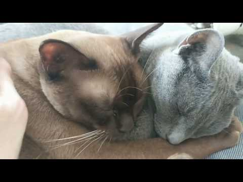 Burmese and Russian Blue cats sleeping