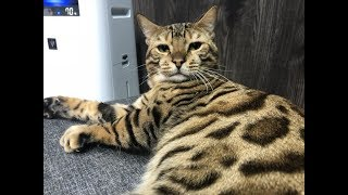ベンガルキャット のドルとベルのLive配信です。。 二人の性格がわかるとおもいます。 是非ご覧くださいにゃー #ネコ #ねこ #猫 #cats #自作キャ...