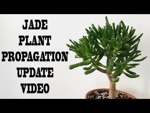 Jade Plant Propagation | Update Video