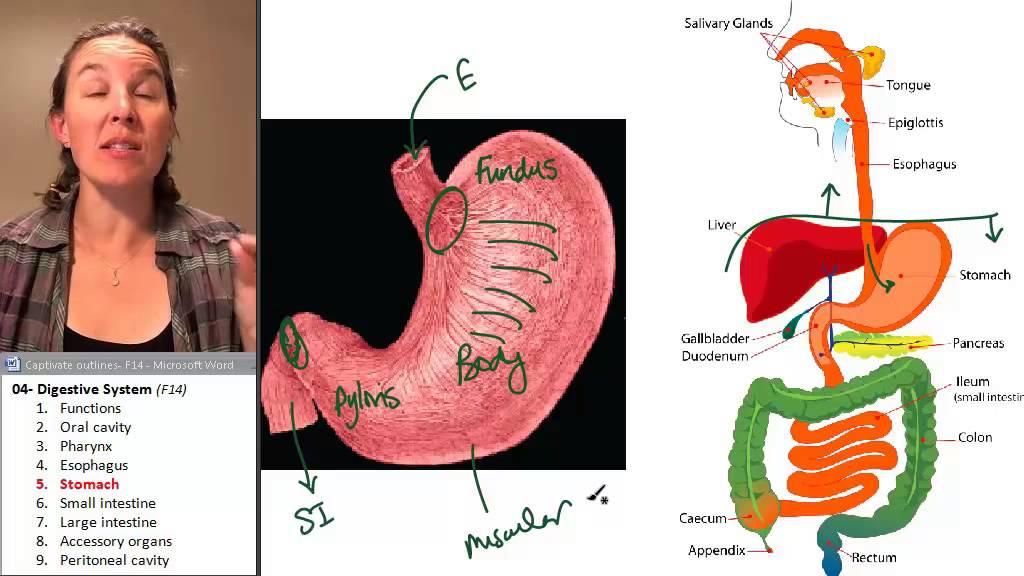 Stomach Digestive System Human Anatomy Course Youtube
