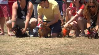 Wiener Dog Races - Dachshund Racing - Sausage Dog Racing