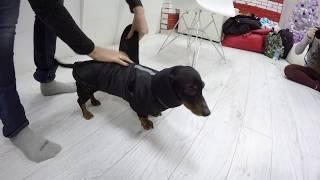 Как одевать Попону на собаку. Твой Стильный Охотник.