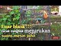Cucak Cungkok Menirukan Suara Mesin Jahit Klek Klek Klek Kimanchannel  Mp3 - Mp4 Download