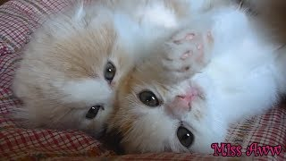 Three Fluffy Kittens Playing Together | Too Cute!