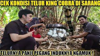 INDUK KING COBRA MARAH SAAT TELURNYA PANJI PEGANG | MONITORING GARAGA PART 4