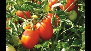 【智慧誠選】義大利蕃茄莊園自然耕作!