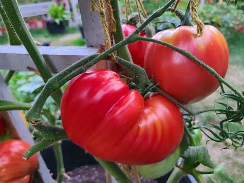 Долгожданный крупноплодный томат поспел. Делаем обзор куста, томатов и ДЕГУСТИРУЕМ!!!