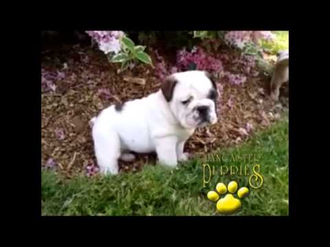 English Bulldog Puppies For Sale In Pa Youtube