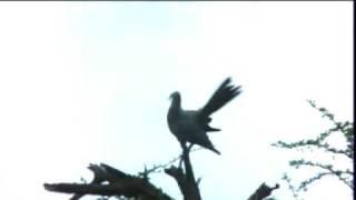Go Away bird