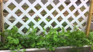 Vegetable Gardening: Making An Easy Pea Trellis