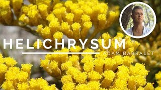 Helichrysum - The Oil of the Wounded Healer