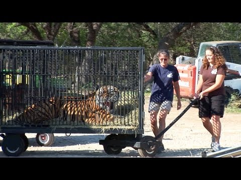 Texas Tiger Rescue