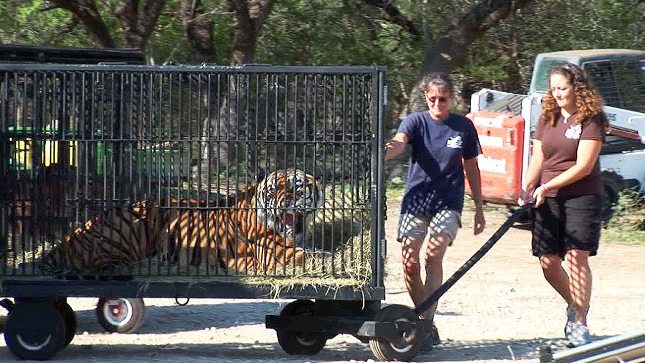 Texas Tiger Rescue Youtube