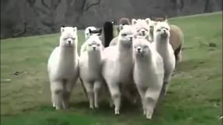 Прикольные Смешные Животные видео подряд mp4