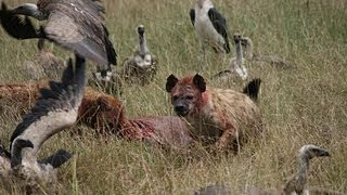 Hyenas fight with vultures for food in the Masai Mara, Kenya
