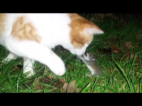 FIGHT!!! Mouse Attacks Kitten. Cat vs. Rat Boxing Scared Kitten. Mighty Mouse MUST WATCH. FUNNY! LOL