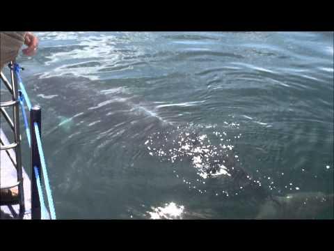 'Kasey the Minke Whale'