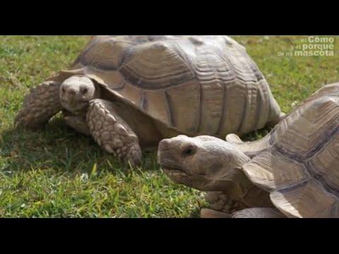 TORTUGAS - La tortuga gigante africana. La tortuga Sulcata.