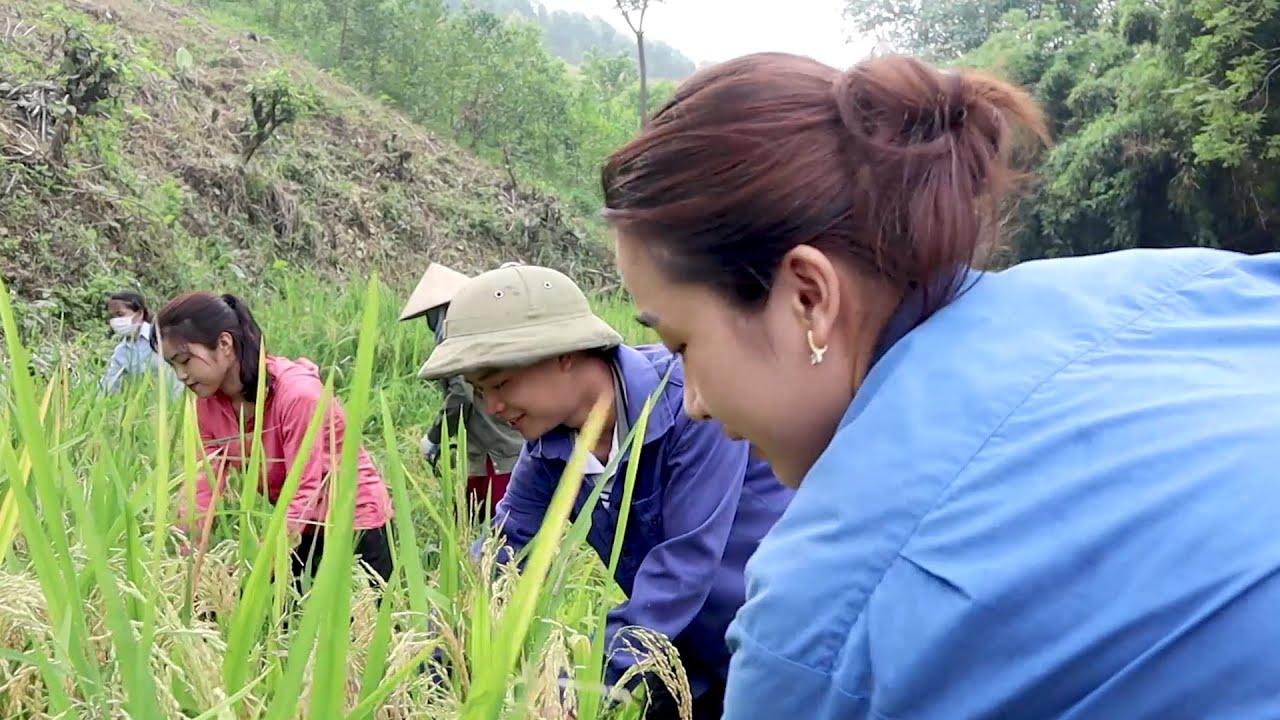 Đến hẹn lại lên, gặt lúa tại nhà Thùy - Mẩy Thùy về thăm quê #1
