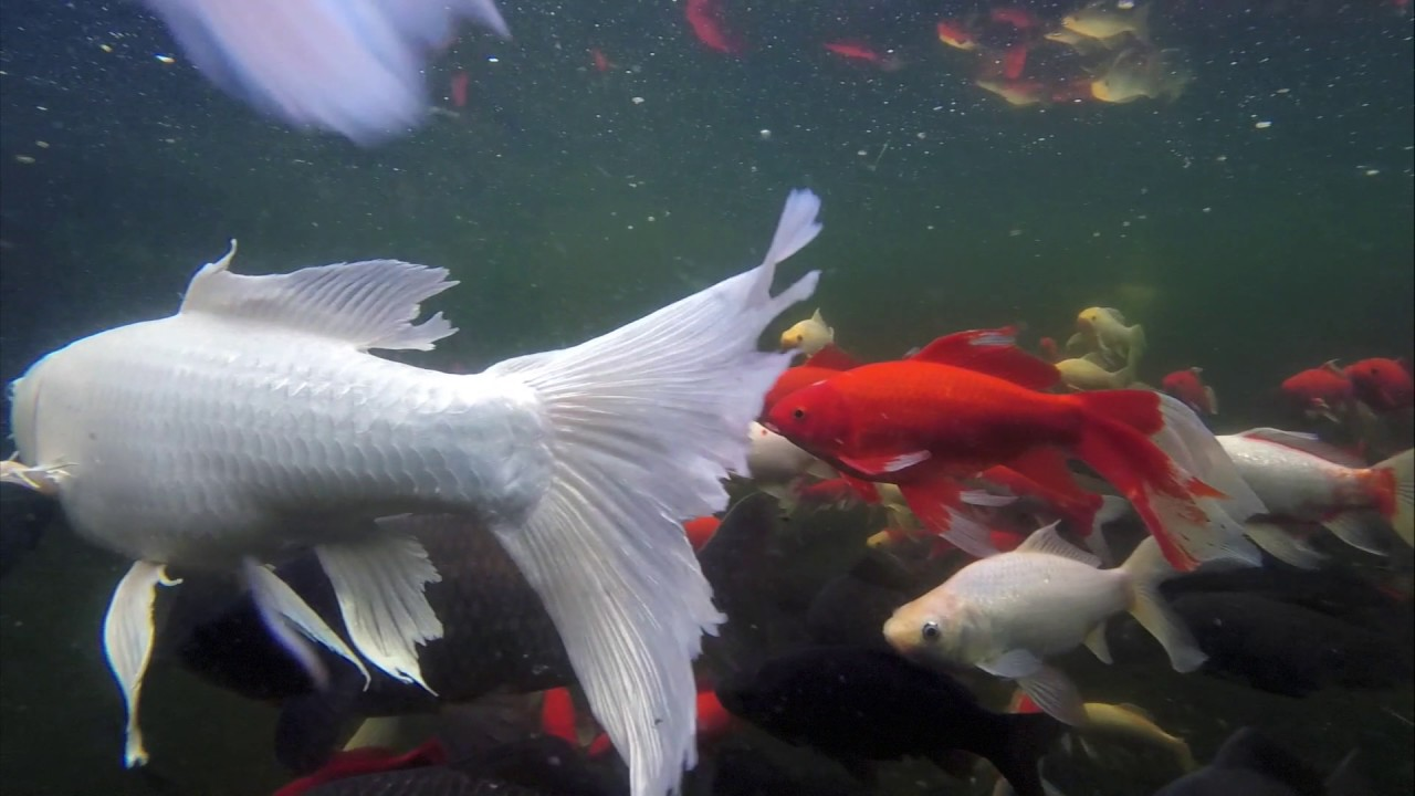 Bassin carpe koi poisson rouge youtube for Poisson koi aquarium