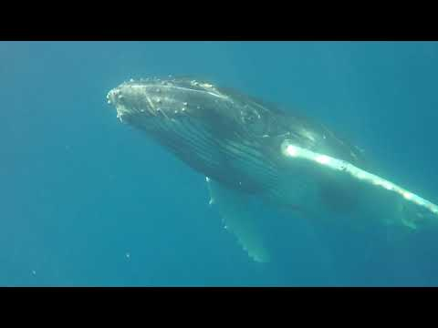 video:South Pacific Humpback Whales