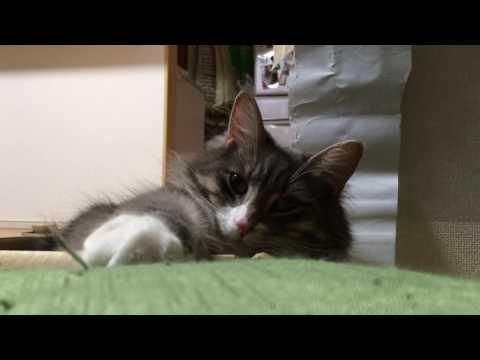 箱猫 ノルウェージャンフォレストキャット Box and cat.Norwegian Forest Cat.
