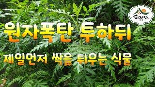 간염 간기능에 좋은약초 인진쑥 산림 임업 농업 약용식물…