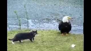 Black Cat VS Black Eagle