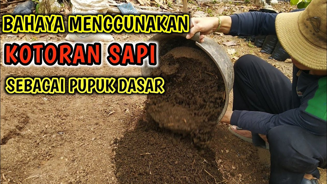 Manfaat Kotoran Sapi Bagi Tanaman Pupuk Kompos Dari Kotoran Sapi Youtube