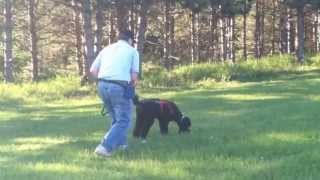 Standard Poodle Owner: Lacey's Intro To Dog Tracking