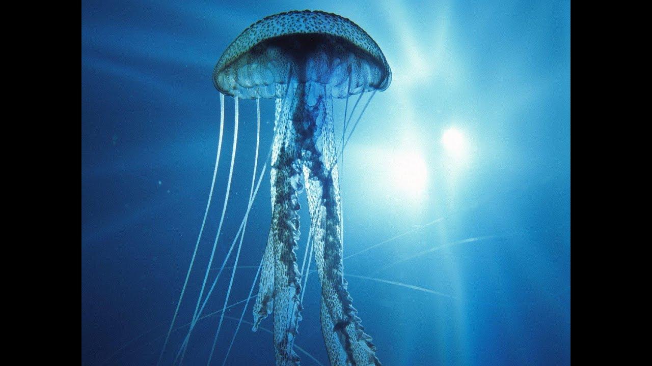 Amado Medusa Caixa ou Vespa do Mar, 3º dos 12 animais mais perigosos da  ER65