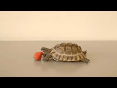 The last thing Alan Rickman did before he died is voiceover for this video of tortoise eating a strawberry